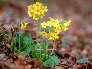 Oxlip flowering plant